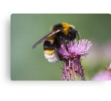 Cuckoo Bee Canvas Print