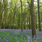 The perfect spread of bluebells by miradorpictures