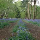 The bluebell highway by miradorpictures
