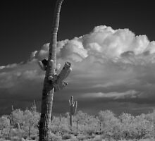 Saguaro in Infrared by Hugh Smith