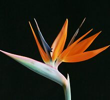 Bird of Paradise by Nicole Meyer