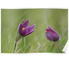 Pasque flowers emerge  Poster