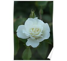 White Rose and Bud Poster
