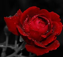 Rose with Raindrops by Sandy Keeton