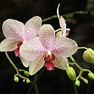 Flowering again. I love this orchid! by bubblehex08