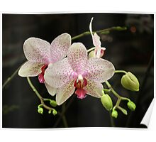 Flowering again. I love this orchid! Poster