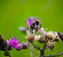 Bee on thistle by evilcat