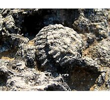 Fossil in Ancient Olympus Limestone Photographic Print