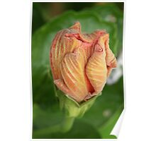 Hibiscus Bud Poster