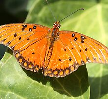 Orange Butterfly Sunning on a Leaf by ElyseFradkin