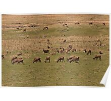 Red Deer Herd at Loch Muick Poster