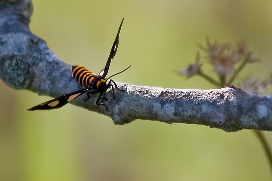 Black-Headed Wasp Moth by Jason Asher