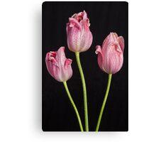 Portrait Of Three Pink Tulips Canvas Print