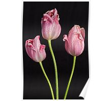 Portrait Of Three Pink Tulips Poster