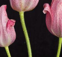 Portrait Of Three Pink Tulips Sticker