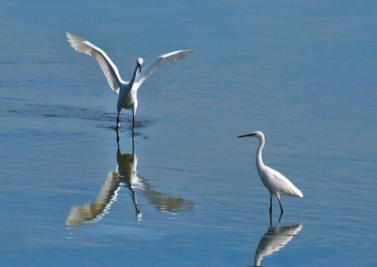 Little Egrets by Bob Culshaw