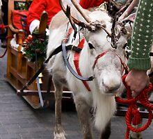 Reindeer by Jon Tait