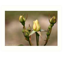 Rose Buds Art Print