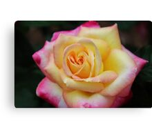 One Colorful Rose Canvas Print