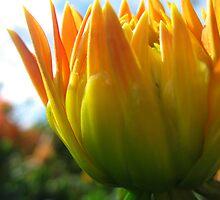Budding Dahlia by Orla Cahill Photography