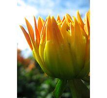 Budding Dahlia Photographic Print