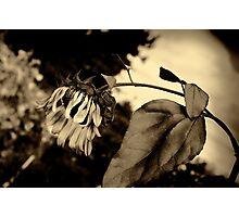 Sunflower in Antique Photographic Print