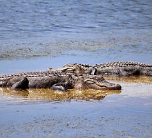 Gators Napping by Cynthia48