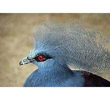 Common Crowned Pigeon  Photographic Print