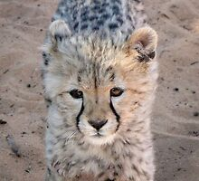 Just wait until I grow up - Baby Cheetah - Monarto Zoo by DPalmer