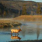 Bull Elk - Yellowstone National Park, Wyoming, USA. by Paul Stewart
