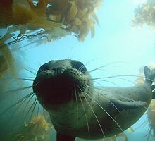 Harbor Seal at Depth by Walt Conklin