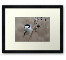 Cute Wild Black Capped Chickadee Bird on Dried Dead Queen Anne's Lace Plant Stem Framed Print