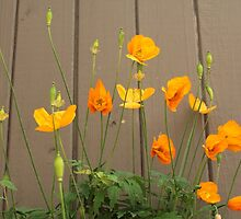 summer wild yellow poppy flowers and light brown wooden wall background. by naturematters