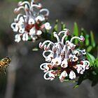 Spring - Grevillea and honey bee by Paul Stewart