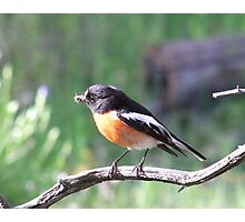 robins dinner Photographic Print