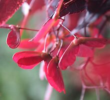 Red Japanese maple tree seeds - samara fruits. by naturematters