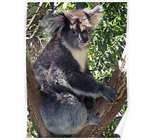 Koala in the Dandenong Ranges, Victoria, Australia Poster
