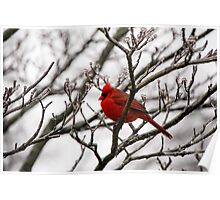 Winter Cardinal - Icy Tree Poster