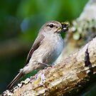 Duski Flycatcher by photowes