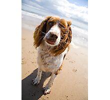 Springer Spaniel on beach Photographic Print