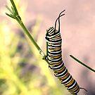 Monarch Caterpillar - 19 by Donna R. Carter