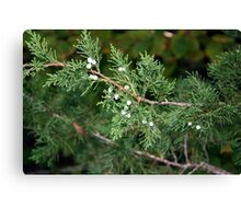 Fir Canvas Print