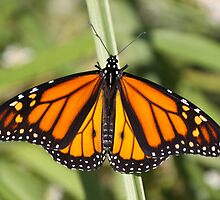 Monarch Delight by Gregg Williams