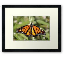 Monarch Delight Framed Print