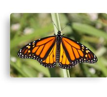 Monarch Delight Canvas Print