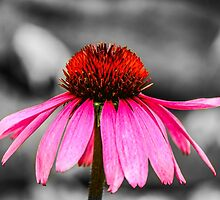Purple Coneflower - SC by Mary Carol Story