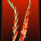 Gladioli 3 by jakking