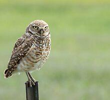 Burrowing Owl by Eivor Kuchta