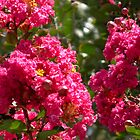 Crepe Myrtle by Ginny Schmidt