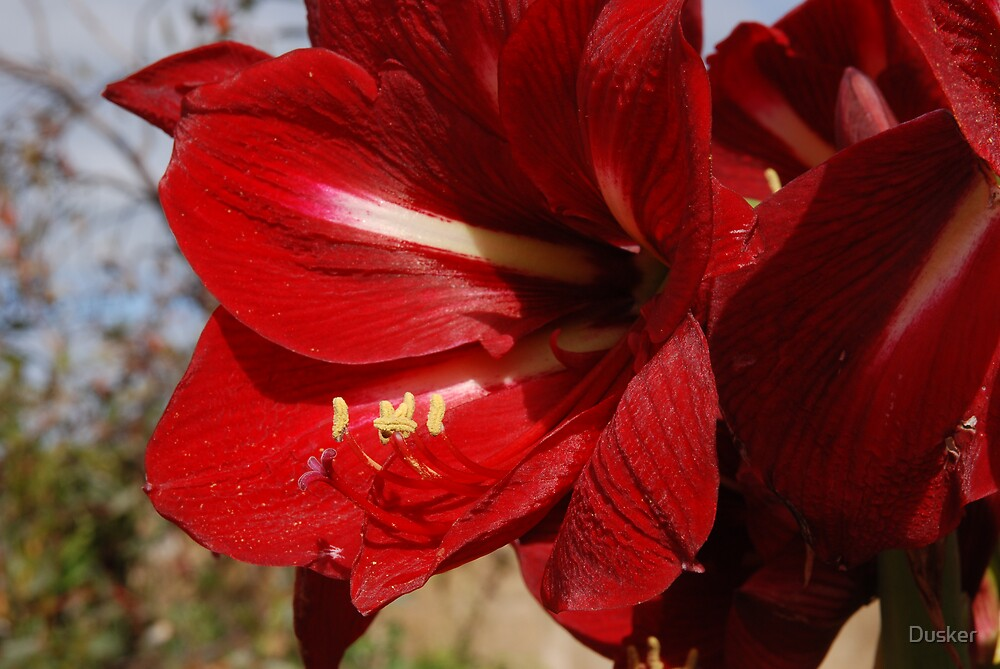 Amaryllis--strong and proud by Dusker